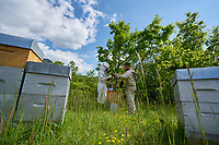 Inspection of the smaller Warré type of hives is much easier.<br /> L'inspection des ruches de type warré de plus petite taille est plus facile.