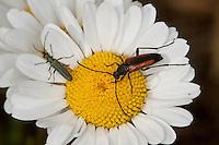 Kleiner Schmalbock, Gemeiner Schmalbock, Schwarzschwänziger Schmalbock, Blütenbesuch, Weibchen, Stenurella melanura, Strangalia melanura, zusammen mit dem kleineren Käfer Oedemera spec., Scheinbockkäfer