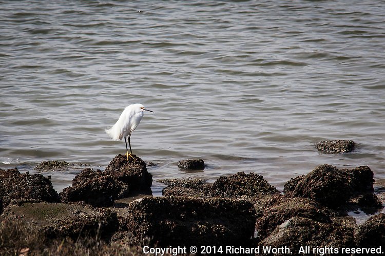 A Snowy egret stands on the rocky shore of Martin Luther King Jr. Regional Park situated next to the Oakland International Airport.