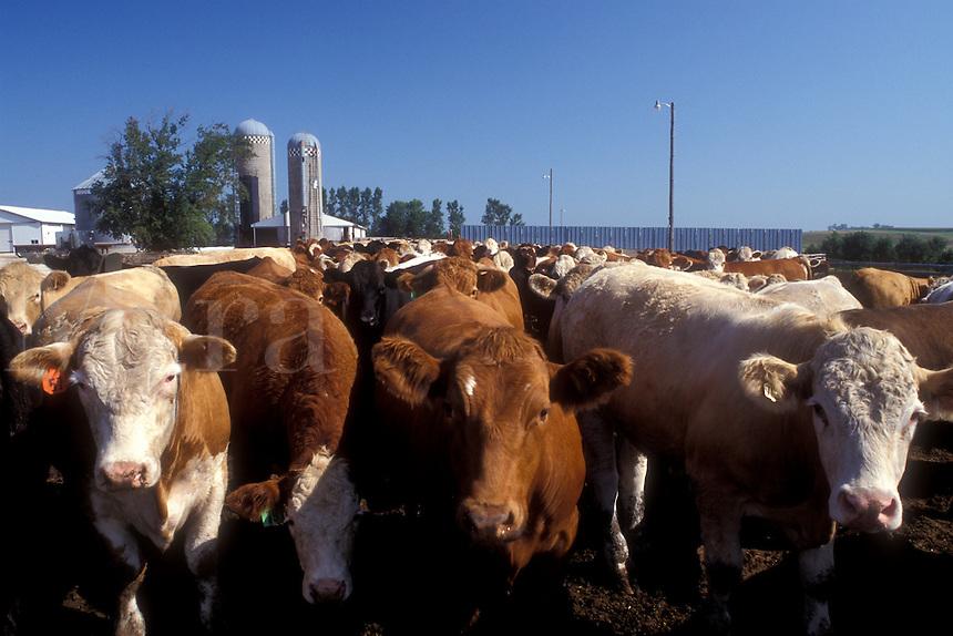 AJ0285, Iowa, Beef cattle on farm.