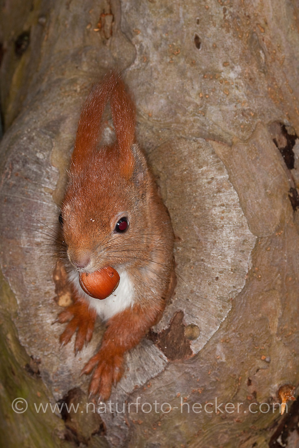 Eichhörnchen, Europäisches Eichhörnchen, schaut aus einer Asthöhle, Höhle heraus, hat eine Haselnuss, Haselnuß, Nuss, Nuß im Maul, Sciurus vulgaris, European red squirrel, Eurasian red squirrel