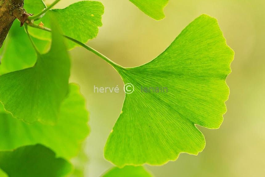Ginkgo biloba, rameau et feuilles // Ginkgo biloba leaves and branches