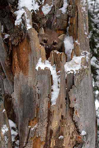 Martens(Martes americana) are solitary except in breeding season (July &amp; August)Martens have delayed implantation, so that their young (1-5) are born in mid-March to late April.<br /> Active throughout the year; hunts mostly on the ground.  <br /> NPS Yellowstone Resource 2011.
