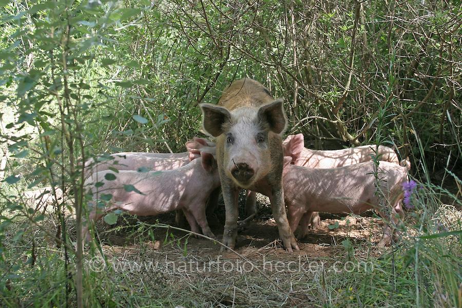Hausschwein, Haus-Schwein, Schwein mit Ferkeln, Ferkel, Wild umherlaufende Schweine in Griechenland, Glückliche Schweine, hog, pig, pigs, swine