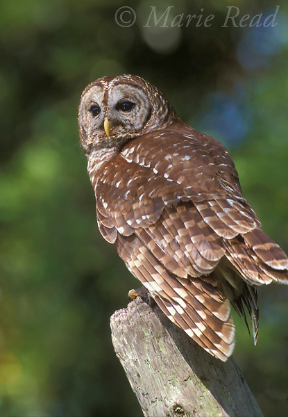 Barred Owl (Strix varia), adult, Wacissa, Florida, USA<br /> Slide # B70-137