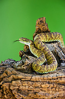 489040008 a captive broadleys bush viper atheris broadleyi sits coiled on a tree limb species is native to africa