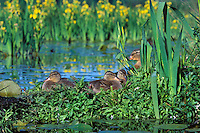 BD674  Mallard Duck family--hen with ducklings--resting on old log among yellow iris in Pacific NW pond.  June.
