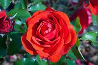 Rosa Trumpeter = Mactru (F) (AGM) red roses