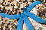 Fakfak Regency, West Papua, Indonesia;  a Blue Sea Star (Linckia laevigata) next to Acropora sp. stony corals