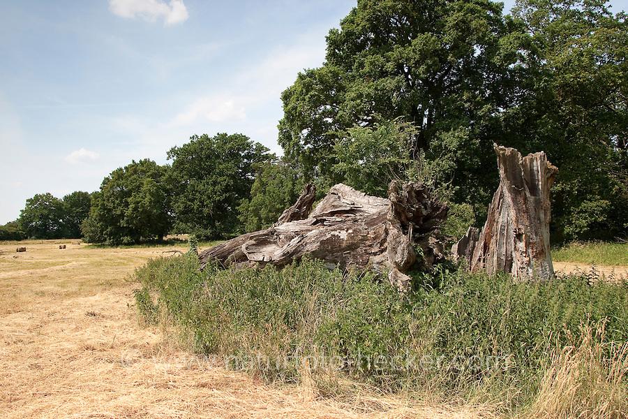 Totholz als Lebensraum für Tiere, alter abgestorbener Eichenstamm, Eiche, Elbtalaue