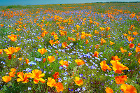 California poppies (Eshscholtzia californica) and Davy Gilia (Gilia latiflora ssp. Davyi). Near Lancaster, California