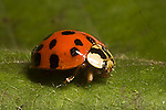 Asian lady beetle Predatory Lady bug beetles