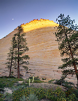 Checkerboard Mesa with moon, sunrise and yucca. Zion National Park, Utah.