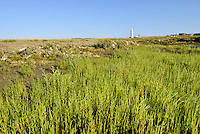 COMMON GLASSWORT Salicornia europaea (Chenopodiaceae) Height to 30cm.  Fleshy, yellowish green annual that fancifully recalls a miniature cactus. Often appears segmented. Entirely coastal. A classic saltmarsh plant that tolerates tidal immersion in seawater. FLOWERS are tiny; appear at stem junctions, of equal size and in 3s, (Aug-Sep). FRUITS are minute seeds. LEAVES are small, paired and fleshy. STATUS-Locally abundant.