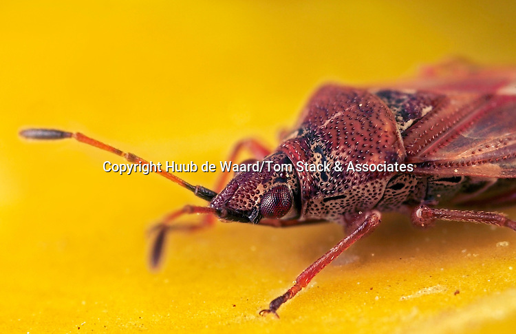 """Small bug (Heteroptera) with a size of around  3-4 mm.  To obtain a larger area of sharpness focusstacking using 3 photos has been applied. Each photo has been made with magnification factor 5 and f/9, using a Canon 40D and a Canon macro lens MP-E 65 mm/f2.8...Heteroptera is a group of about 40,000 species of insects in the Hemiptera. Sometimes called """"true bugs"""", that name more commonly refers to Hemiptera as a whole, and """"typical bugs"""" might be used as a more unequivocal alternative since among the Hemiptera the heteropterans are most consistently and universally termed """"bugs"""". """"Heteroptera"""" is Greek for """"different wings"""": most species have forewings with both membranous and hardened portions (called hemelytra); members of the primitive Enicocephalomorpha have wings that are completely membranous (source: Wikipedia)."""