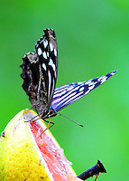 Mexican bluewing feeding on grapefruit