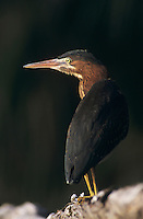 Green Heron, Butorides virescens,adult perched, Rio Grande Valley, Texas, USA, May 2004