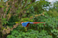 Scarlet Macaw (Ara macao).  Found from southern Mexico south to the rainforests of the Amazon Basin in South America.  Photos taken in Costa Rica.