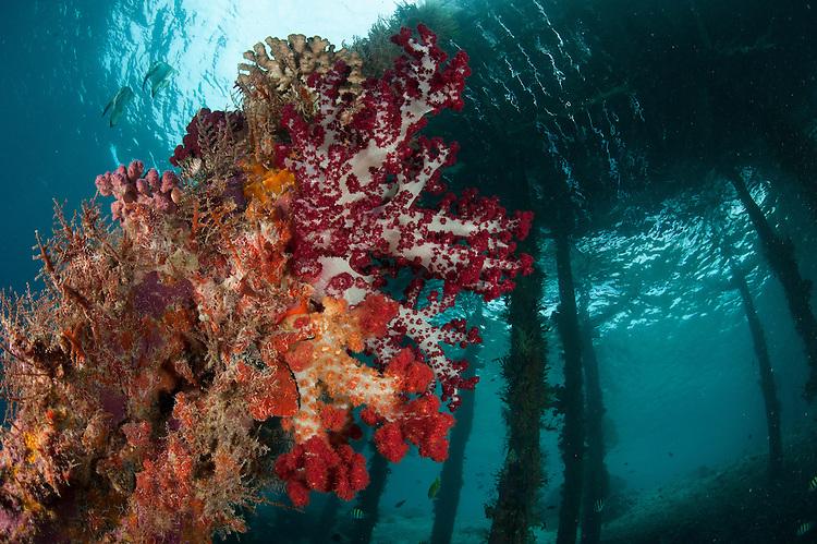 Soft corals (Dendronephthya sp.) adorn the legs of Arborek Jetty, Dmpier Strait, Raja Ampat, Indonesia