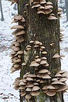 Austern-Seitling, Austernseitling, Austernpilz, Pleurotus ostreatus, Oyster mushroom, le Pleurote en forme d' huître