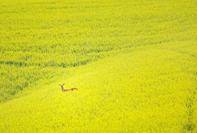 Deer in field of Canola. The Palouse near Colfax, Washington.