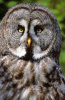 Bartkauz, Bart-Kauz, Portrait, Strix nebulosa, great grey owl, great gray owl