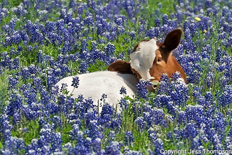 Longhorn Calf in Bluebonnets, Austin, TX