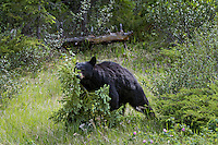 Black Bear (Ursus americanus) being aggressive by walking over a small spruce tree.  Northern Rockies, Spring.