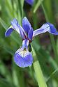 Blue flag iris (Iris versicolor), mid May.