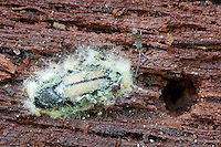 Fungus on click beetle; in rotten log; PA, Montgomery Co., Ft. Washington State Park;