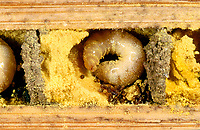 Rote Mauerbiene, ältere Larve, Made, Brutröhre, Niströhre im Querschnitt, Entwicklung, Entwicklungsreihe Entwicklungsstadien, Brutkammer mit Pollen gefüllt, Rostrote Mauerbiene, Mauerbiene, Mauer-Biene, Osmia bicornis, Osmia rufa, red mason bee, mason bee, L'osmie rousse, Mauerbienen, mason bees