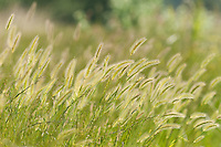Wall Barley {Hordeum murinum} Seed Heads Swaying in the Breeze at Waltham Brooks, West Sussex
