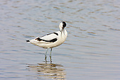 Pied avocet (Recurvirostra avosetta) bathing and preening. The Avocet colonised Britain when coastal marshes in East Anglia were flooded to provide a defence against possible invasion by the Germans.