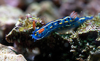 August 3rd, 2008_HONG KONG_ A Nudibranch Hypselodoris festiva, patrols the coral during a dive in the Dai Chau area of Hong Kong's Sai Kung District.  Photographer: Daniel J. Groshong/Tayo Photo Group