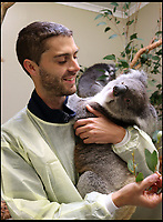 BNPS.co.uk (01202 558833)<br /> Pic: Longleat/BNPS<br /> <br /> Longleat koala keeper Chris Burr becomes aquainted with his new charges.<br /> <br /> One of Australia's most iconic but increasingly threatened species has received a boost as a group of koalas have arrived in Britain to start a new European breeding group.<br /> <br /> The five southern koalas, four females and one male, are part of a ground-breaking initiative to start a new breeding programme for Europe, a sort of back-up population away from the threats the species face in their home country, such as bushfires and disease.<br /> <br /> The cuddly marsupials made the epic journey from Adelaide in Australia to Longleat in Wiltshire, which will be the only place in Europe visitors can see the bigger of the country's two subspecies.<br /> <br /> Longleat has created a special new enclosure for them, including developing a 4,000-tree eucalyptus plantation to keep the koalas well-fed.<br /> <br /> Both the South Australian Government and Cleland Wildlife Park have very strict rules on allowing the animals out of the country.