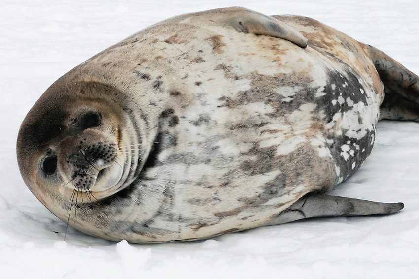 Babyface - Weddell Seal,Boat Harbor, Cape Denison, Commonwealth Bay