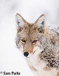 Coyote in winter. Grand Teton National Park, Wyoming.