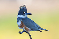 Belted Kingfisher - Megaceryle alcyon - female