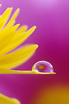 Reflection of a flower in dew or raindrop on a Daisy Petal.