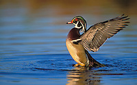 Wood Duck drake flapping water off wings..British Columbia, Canada. (Aix sponsa).
