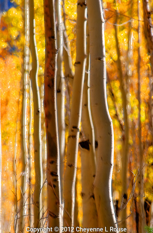 Magic Aspen Trees - Park City, Utah, Wasatch Mountains