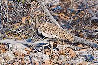 Red-crested Korhaan, Etosha NP, Namibia