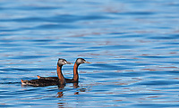 While we were staking out pumas, a couple of different grebe species swam by (my first photo ops with either one).