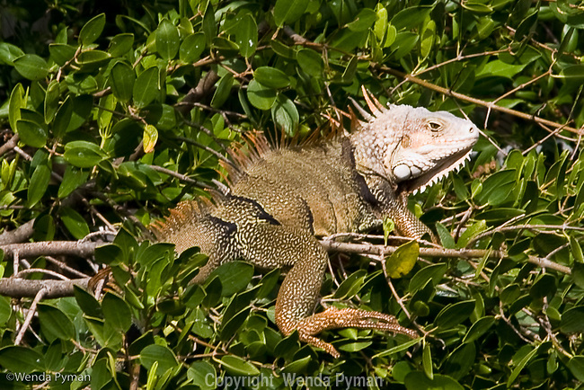 Green iguanas are considered an exotic species and overrun the Florida Keys.