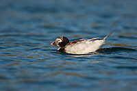 Eisente, Eis-Ente, Weibchen, Clangula hyemalis, long-tailed duck, Meeresente, Meerente