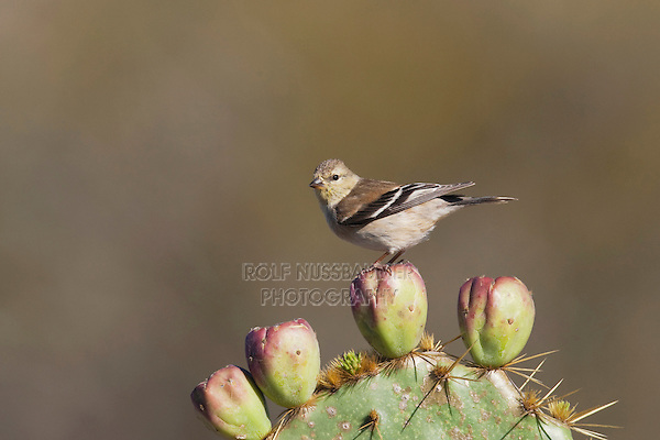 American Goldfinch (Carduelis tristis), adult winter plumage, Welder Wildlife Refuge, Sinton, Texas, USA