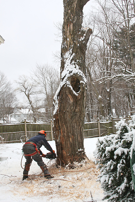 Man cutting down large tree.