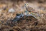 Canada, British Columbia, Fraser River Delta, , short-eared owl (Asio flammeus)