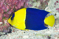 Bicolor angelfish, Centropyge bicolor, Mary Island, Solomon Islands, Pacific Ocean