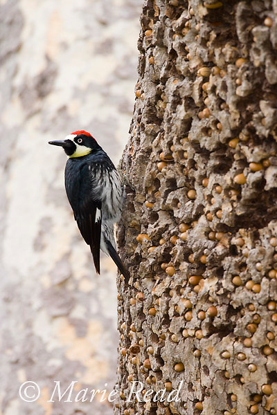 Acorn Woodpecker (Melanerpes formicivorus), male at granary tree showing numerous stored acorns, Orange County, CA